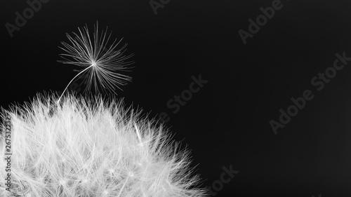 Common dandelion blowball Slika na platnu