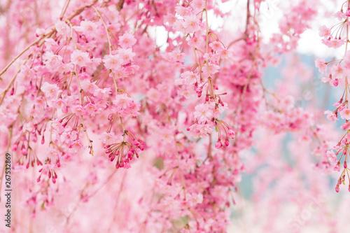 Wall Murals Light pink しだれ桜 春 花 高見の郷 奈良県 2019年4月