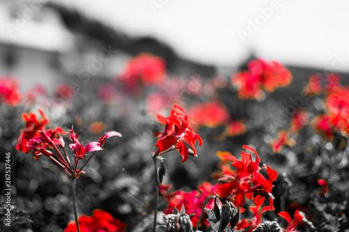 Plakat Separacja koloru - czerwone kwiaty