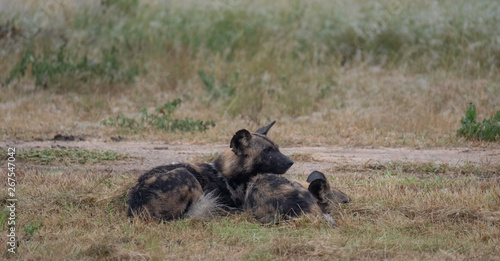Poster Hyène Pack of rare African wild dogs, photographed at Sabi Sands Game Reserve which has an open border with the Kruger National Park, South Africa.