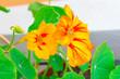 Leinwandbild Motiv Healthy organic heirloom flowering nasturtium plant growing on the balcony on a sunny spring day. Edible bee-friendly herbs, flower, fruits, and vegetables for urban gardening in an Italian city