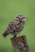 Little Owl Perched On A Post W...