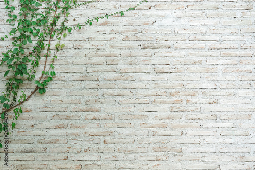 Obraz The wall is made of brick and then painted in white. There are creepers on the left wall. This wall is popular in English style. Also known as a vintage style. as background with copy space. - fototapety do salonu