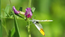 Orange Tip Butterfly On Common...