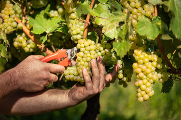 Man cutting white grapes with shears