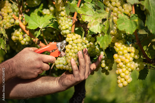 Fotografía  Man cutting white grapes with shears