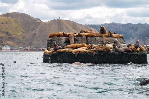 Wall Murals Bali Northern sea lion Steller On a bricquator on Sakhalin Island in the city of Nevelsk. eared seal Steller's Rookery