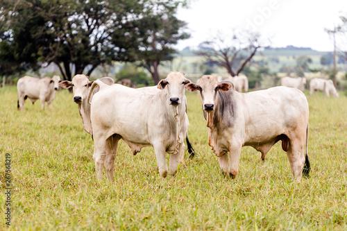 Fotografia, Obraz Herd of Nelore cattle in Mato Grosso do Sul. Livestock of Brazil