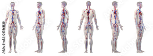 3d rendered medically accurate illustration of mans vascular system Canvas Print