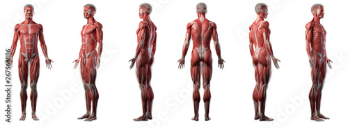 3d rendered medically accurate illustration of a mans muscle system Fototapet