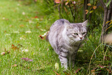 Beautiful Cat With Long Hair Outdoor In A Garden, Siberian Purebred Kitten On A Field