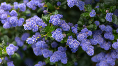 Beautiful blooming purple Californian lilac flowers, Ceanothus thyrsiflorus repens in spring garden Canvas-taulu