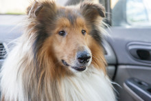 Cute Rough Scottish Collie Dog Is Sitting In A Car, Travelling With Owners But It Is Frightened, Afraid