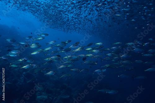 Fotografija  scad jamb under water / sea ecosystem, large school of fish on a blue background