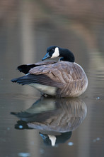 Canada Goose In Small Pond