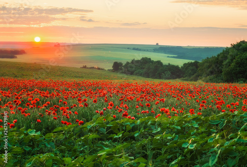 Photo sur Aluminium Poppy Poppy field at sunset / Amazing view with a spring field and lots of poppies at sunset