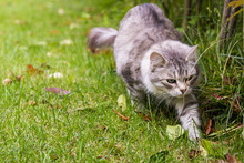 Fluffy Cat With Long Hair Outdoor In A Garden, Siberian Purebred Kitten. Female Silver Version