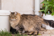 Tabby Cat With Long Hair Outdoor In A Garden, Siberian Purebred Kitten
