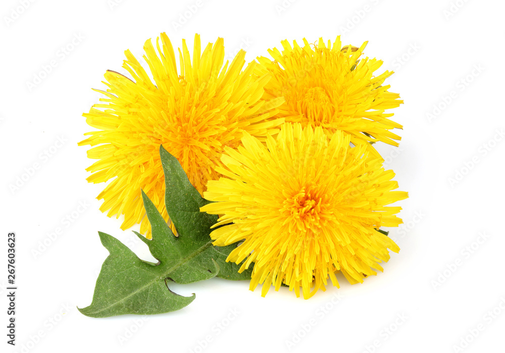 Fototapety, obrazy: Yellow dandelions with dandelions leaf isolated closeup.
