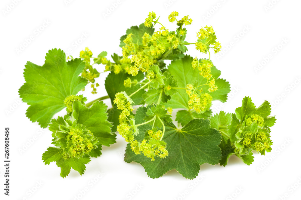 Fototapety, obrazy: Lady's Mantle
