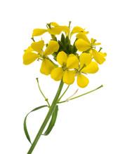 Hedge Mustard Flowers
