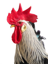 Portrait Rooster Isolated On W...