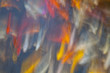 KOI, Nishikigoi, Amur carp (Cyprinus rubrofuscus), Pez koi. Japón, Asia