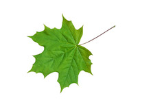 Young Leaf Of A Maple.