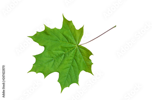 Obraz Young leaf of a maple. - fototapety do salonu