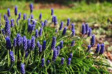 Blue Grape Hyacinths Growing In Spring Garden