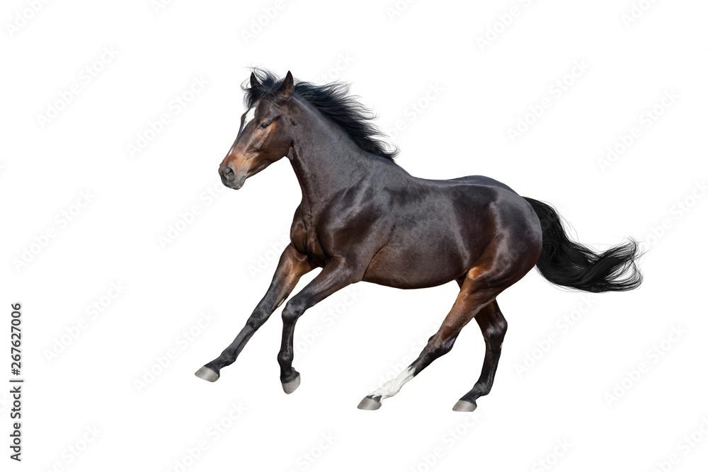 Bay stallion isolated on white background