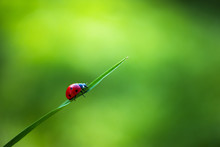 Ladybug Insect Walking On Fresh Green Leaves In Countryside Field, Beautiful Spring Day