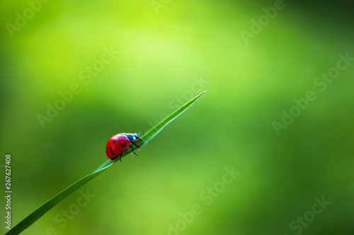 Photo  Ladybug insect walking on fresh green leaves in countryside field, beautiful spr