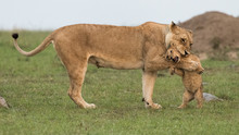 Lioness Playing With Cub In Maasai Mara National Reserve