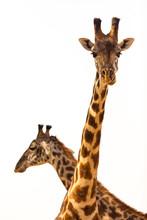 Pair Of Giraffe In Serengeti National Park
