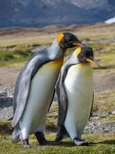 King Penguins Standing On Landscape Outdoors