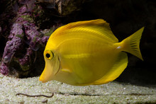 Yellow Tang Tropical Fish In A...