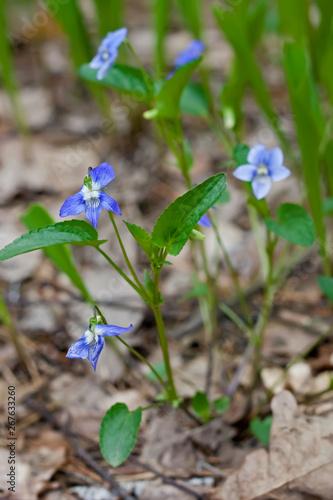 Wild forest violet flowers
