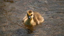 Close Up Of Single Canada Goose Gosling Chick Yellow And Black Plumage On Lake