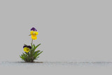 Wild pansy on gray concrete background with copy space - 267644262