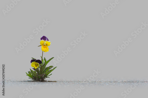 Wild pansy on gray concrete background with copy space
