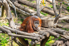 Bornean Orangutan (Pongo Pygma...