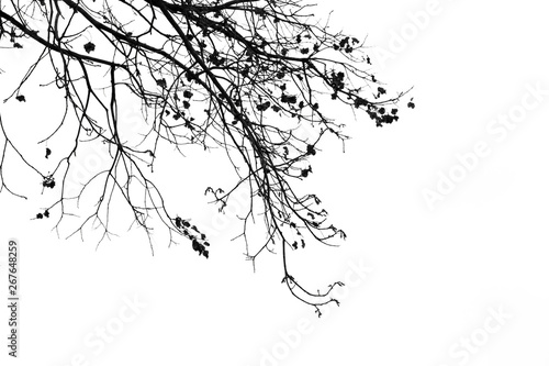 Dead branches , Silhouette dead tree or dry tree on white background with clipping path Fototapeta