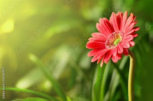 Slika na platnu Gerbera with blur shiny background. Nature background