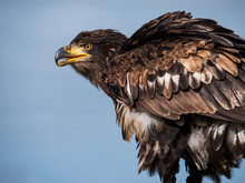 Immature American Bald Eagle Against Blue Sky