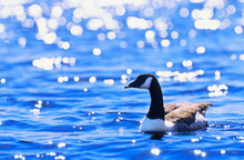 Canada Goose Swimming. Sunlight Glittering On Clear Blue Water Surface.