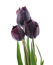 Bouquet Of Dark Tulips.