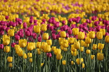 Field Of Blooming Tulips In Su...