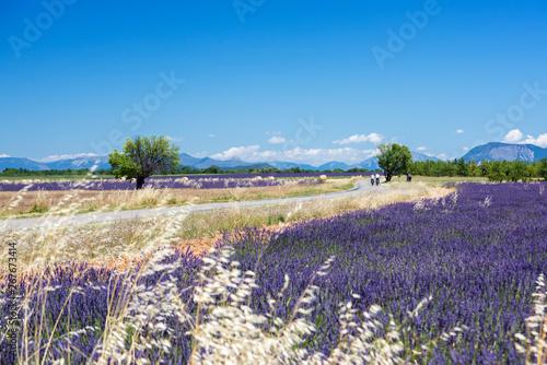 Fototapeta premium Lavender 20a