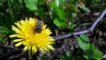 On A Yellow Dandelion Bee Coll...